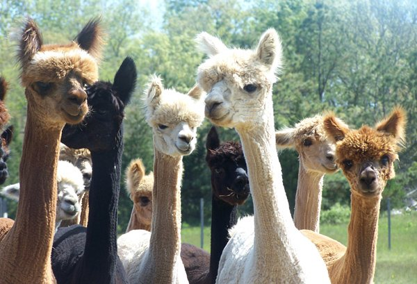 Several newly shorn alpaca